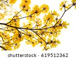 tabebuia chrysotricha yellow... | Shutterstock . vector #619512362