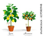 citrus trees in the pots and... | Shutterstock .eps vector #619580948