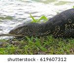 Big Iguana Laying On The Side...