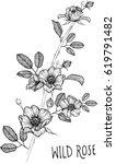 drawing flower. wild rose clip... | Shutterstock .eps vector #619791482