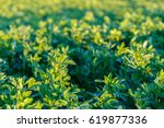 Small photo of culture alfalfa field at spring