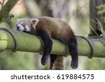 Stock photo sleeping red panda ailurus fulgens funny cute animal image of a red panda asleep during 619884575