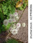 a cluster of white astrantia... | Shutterstock . vector #619908086