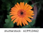 Gerbera Daisy Close Up Macro...