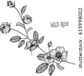 wild rose flowers drawing... | Shutterstock .eps vector #619998002