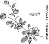 wild rose flowers drawing... | Shutterstock .eps vector #619998002