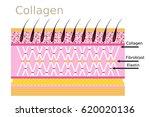 collagen connective tissue skin ... | Shutterstock .eps vector #620020136