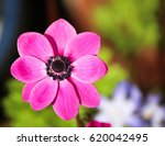Anemone Pink Flowers Aerial View