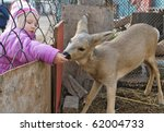 Girl Feeds A Deer In A Cage