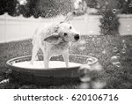 Stock photo dog shaking water off during bath time 620106716