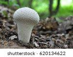 The Common Puffball  Lycoperdon ...