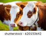 cows in seiser alm  the largest ... | Shutterstock . vector #620153642