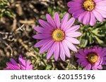 osteospermum  beautiful pink... | Shutterstock . vector #620155196