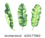 tropical banana leaves set.... | Shutterstock . vector #620177882