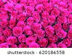 Fuchsia Roses Background