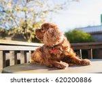 cute dog king charles cavalier  ... | Shutterstock . vector #620200886