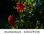 red and pink dahlias flowers at ... | Shutterstock . vector #620229158