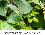 colorful colombian lizard | Shutterstock . vector #620275196