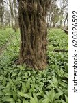 Small photo of Wild garlic in a Danish forest. Ramsons all over.