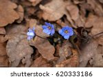 Blue Anemone Nemorosa Flower I...