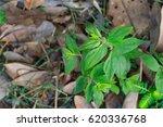 garden spurge  asthma weed ... | Shutterstock . vector #620336768