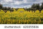 olive trees in a field of... | Shutterstock . vector #620355836