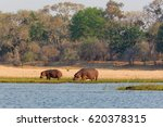 hippo in np lower zambezi  ... | Shutterstock . vector #620378315