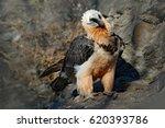Lammergeier Or Bearded Vulture...