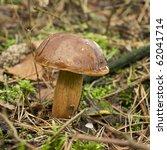 Edible mushroom boletus badius in forest - stock photo
