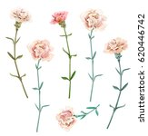 Set Of Carnation Schabaud ...