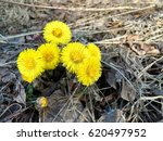 Very First Yellow Spring...