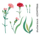 set of carnation schabaud  pink ... | Shutterstock .eps vector #620499866