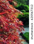 Small photo of Acer palmatum, detail