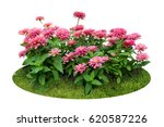 Stock photo pink flower bush tree isolated with clipping path 620587226