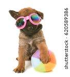 Stock photo puppy belgian shepherd dog laekenois in front of white background 620589386