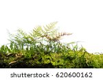 Green Fern And Moss Cover On...