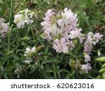 Saponaria  Soapworts  Flowerin...