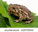 Brown toad  / frog (Bufo gargarizans) on  a green leaf - stock photo