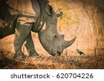 white rhino chatting with a... | Shutterstock . vector #620704226