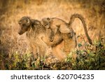 monkey cub with mother  kruger... | Shutterstock . vector #620704235
