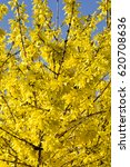 Blooming Forsythia Bush With...
