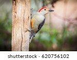 Red Bellied Woodpecker On A...