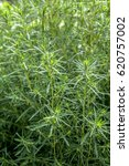 Chinese Herbal Medicine Kochia