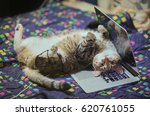 Stock photo lazy freelancer cat 620761055