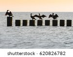Group Of Cormorants On Wooden...