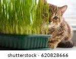 The Kitten Is Eating Grass On...