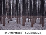 the deciduous forest after the... | Shutterstock . vector #620850326