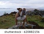 Small photo of Bulldog