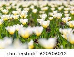 amazing summer nature flowers ... | Shutterstock . vector #620906012