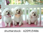 Three Lovely Fluffy Poodles...
